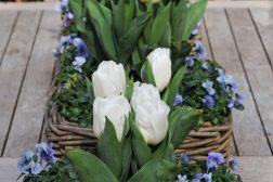 Kurver med stemor og tulipan