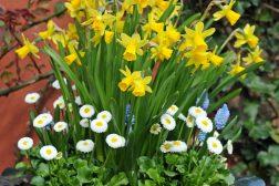 Vårkrukke med påskelilje og tusenfryd