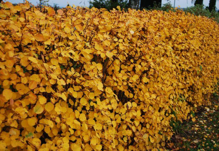 Matsøtmispel, Amelanchier alnifolia hekk med gul høstfarge