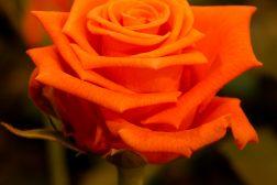 Rose Mercedia Kordes