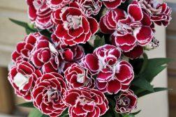Nellik, Dianthus, en av våre letteste sommerblomster å lykkes med!