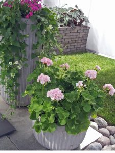 Nellik, lofus og Pelargonium i inngangspartiet