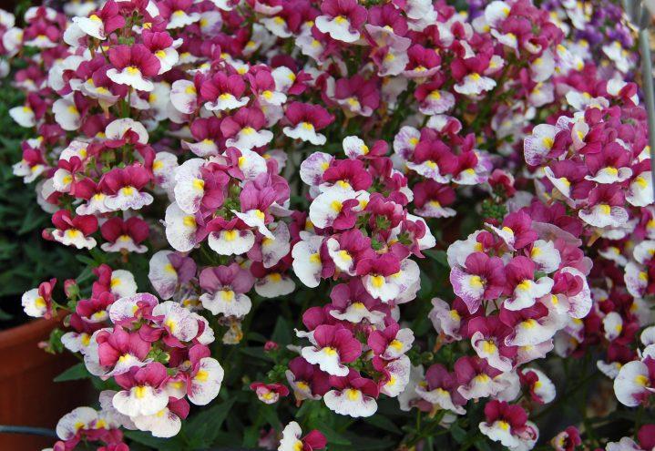 Nemesia er en frodig ampel- og krukkeplante