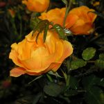 Potterose, oransje, nydelige roser, glødende roser, oransje blomster