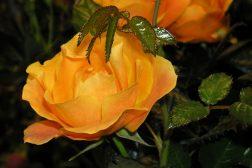 Potterose, nærbilde av oransje potterose