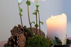 Helleborus, julerose