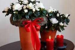 Hvit asalea til jul