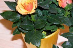 Oransje minipotterose