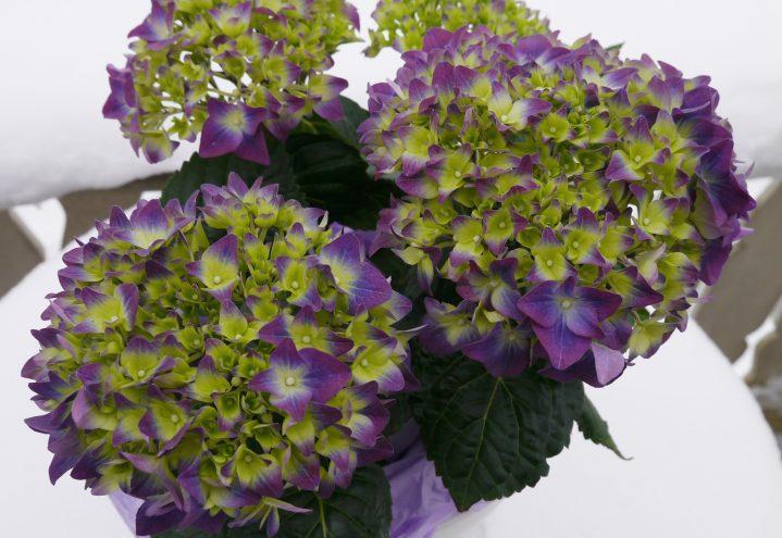 Hortensia i lilla og grønt