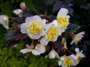 Begonia til sommerhagen