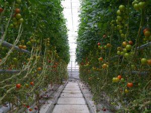 Produksjon av tomater i veksthus