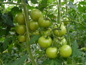 Grønne tomater i produksjon