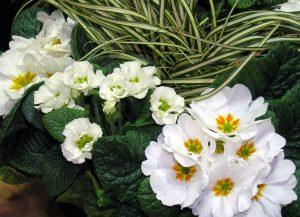Hvite Primula av ulike sorter