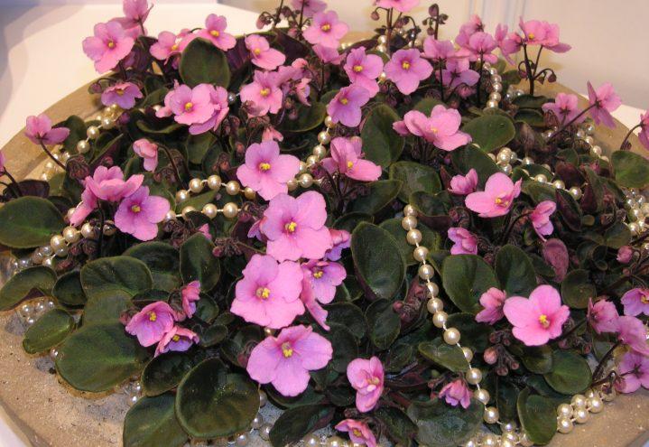 Festklar Saintpaulia, festklare blomster med perler