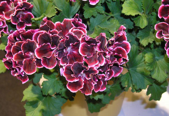 Intense farger med burgunderrød Engelsk pelargonia