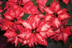 Nydelig variant av julestjerne