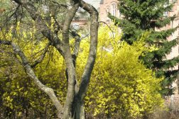 Forsythia, gullbusk, en av vårens første og mest intense blomstrende busker