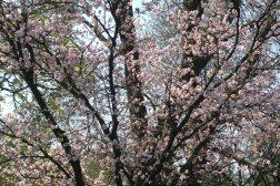 Vårblomstring på bar kvist