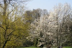 Blomsterrike magnolia blomstrer på bar gren