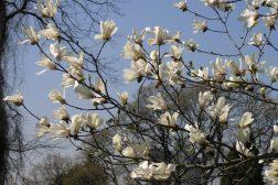 Hvit Magnolia