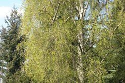 Bjørken spretter i april og mai