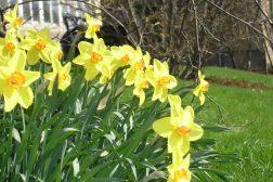 Påskeliljer i vårsol