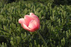 En enkel tulipan i vårsol