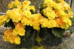 Frodige gule begonia