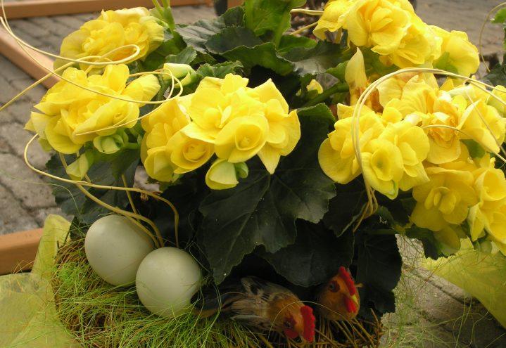 Gul begonia med egg og kyllinger