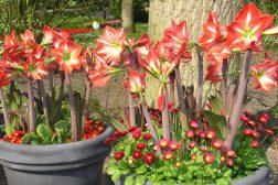 Amaryllis kan også vokse ut om sommeren!