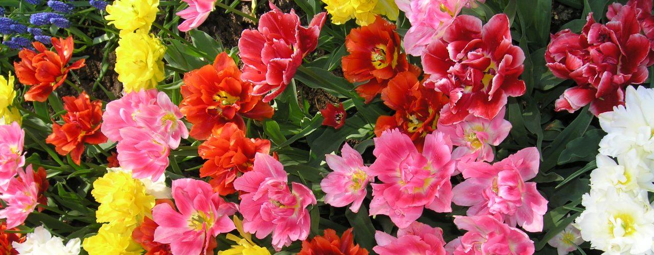 Strålende fylte tulipaner i fargefest
