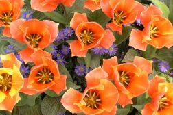 Knall oransje, kompakte tulipaner