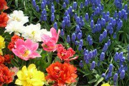 Tulipaner og Muscari, perleblomster