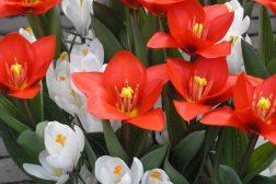 Tulipaner og krokus