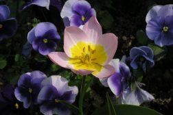 Stemor og tulipan