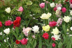 Få lang vårblomstring med varierte løk