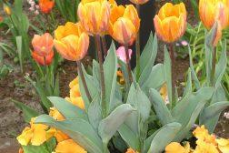 Kurv med oransje stemor og tulipaner