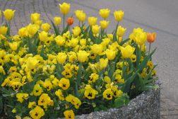 Gule tulipaner og gule stemor er synlige i trafikkbildet