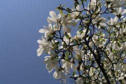 Magnoliablomstring i vårsol