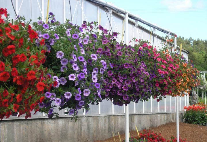Petunia i ampel på rekke og rad