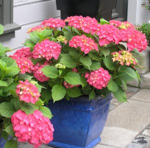 Knall rosa Hortensia ved inngangsdøren