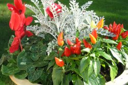 Høstkrukke med prydpepper, alpefiol og Senecio