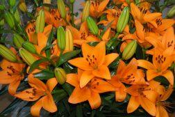 Brennende oransje liljer