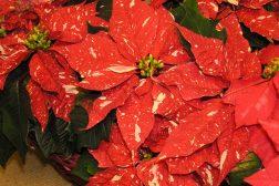 Spettede røde julestjerner