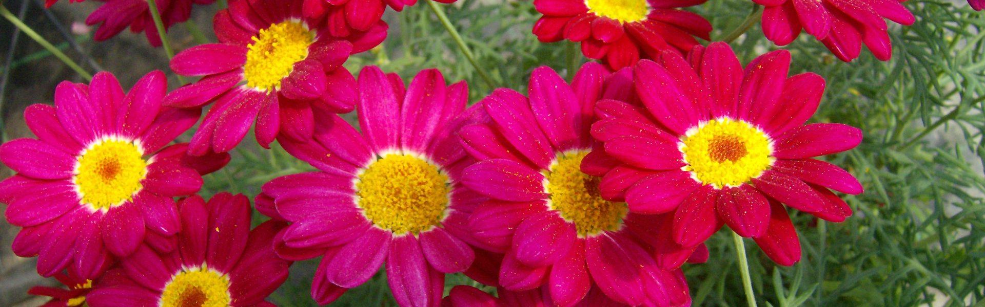 Margeritt i farger