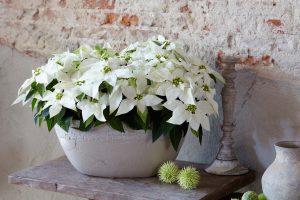 Princettia, Poinsettia, Pure White, kritthvit, hvit julestjerne, interiør