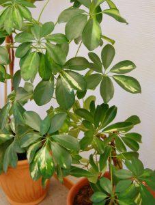 Paraplytre; Schefflera arboricola