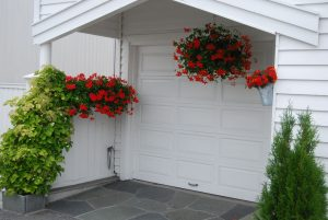 Slyngpelargonia blomstrer rikt hele sommeren med rosa eller røde blomster