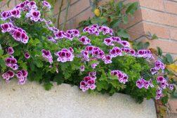 Pelargonium engelsk i verandakasse
