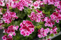Pelargonia inne – mens vi venter på våren